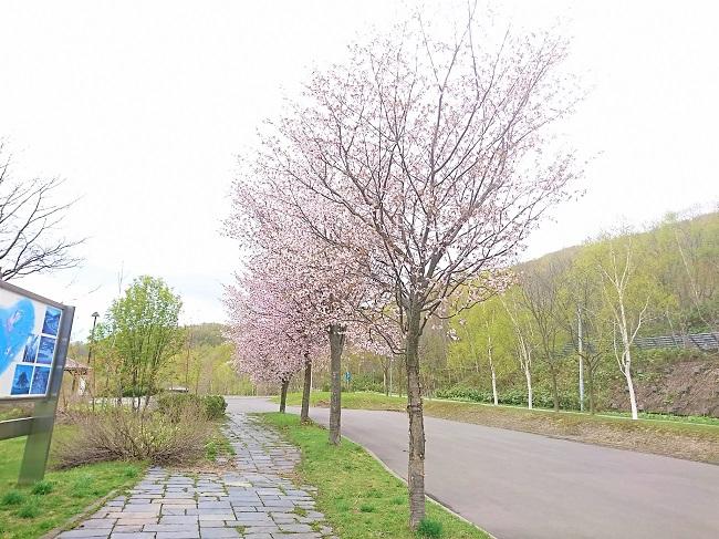 湖畔園地の桜並木