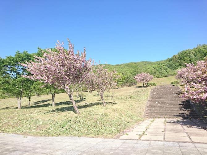 5月の朝里ダムの桜