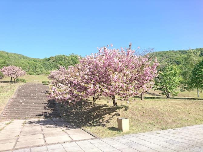 朝里ダムの桜