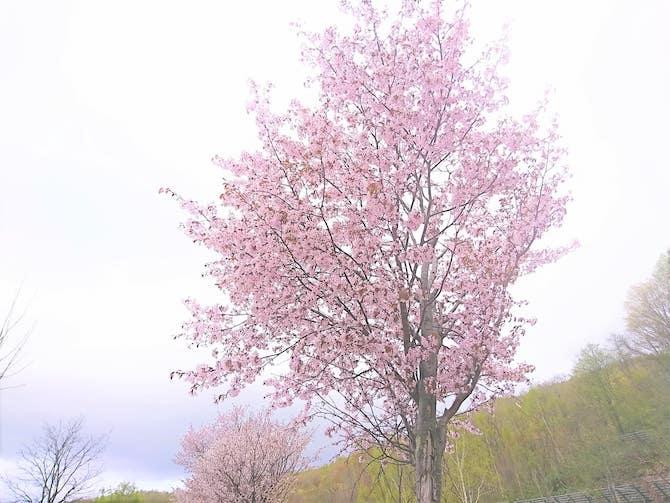 朝里ダムの満開の桜